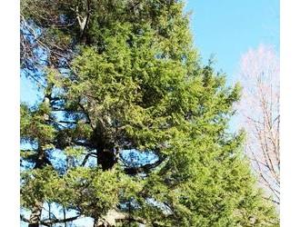 加拿大铁杉