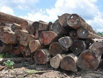 南美材市场活跃 品种以瓦泰豆、马蹄豆等大原木为主