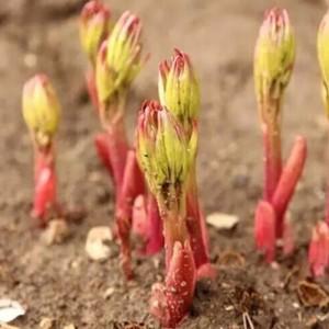 芍药赤芍白芍 芍药种苗白芍种苗赤芍种苗芍药花价格种植