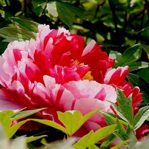 牡丹盆栽牡丹观赏牡丹鲜花牡丹占地牡丹精品牡丹牡丹盆景
