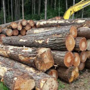 巴西松原木