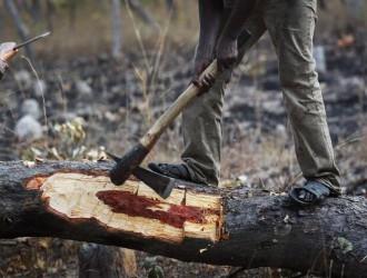 一中国团队非洲调研血檀木买卖 浙江籍摄影师记录木材砍伐全程