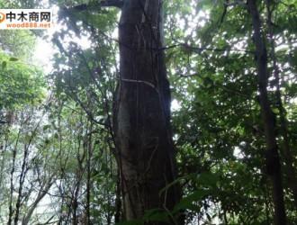 广西木材图谱:广西珍稀优良树种图库/木荚红豆树