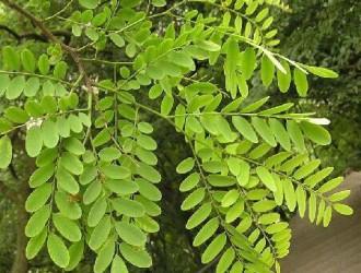 广西木材图谱:广西珍稀优良树种图库/南岭黄檀木