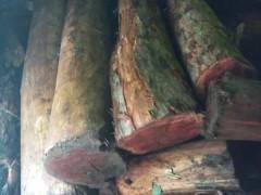 红豆杉原木,方料