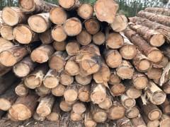 巴西桉木原木