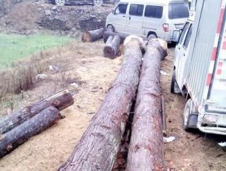 融水杉木的种植经济效益分析