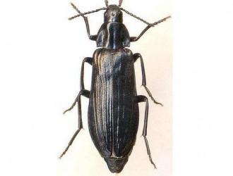 保定检验检疫局在全国首次截获长朽木甲科活体昆虫