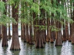 大量供应水杉圆木