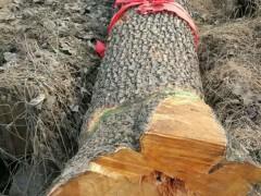 长期供应血柏木核桃木杜梨木原木
