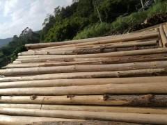 广东杉木原木