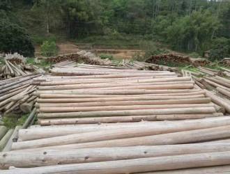 广东省茂名市润泽木业自家园林主产:杉木原木4-7米大中小材,也可按客户要求供应:其他规格大径原木.