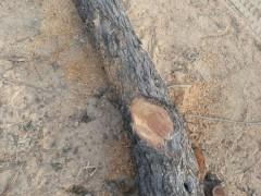 出售枣木原木