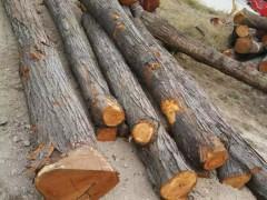 长期供应山东香椿芽原木 苦楝木 杜梨木原木