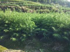苗圃直销杉树苗