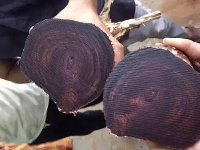 越南黄花梨和海南黄花梨是同属一个树种吗?