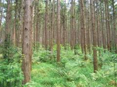杉木树出售