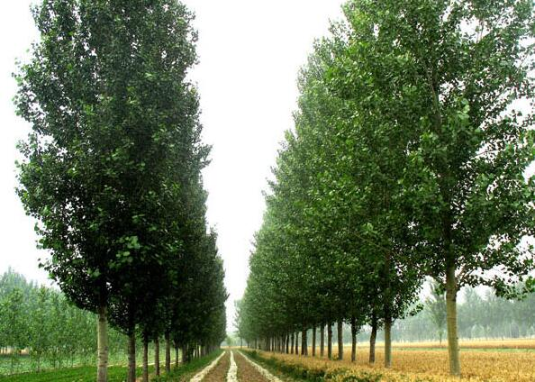 我国的杨木树种比较丰富,