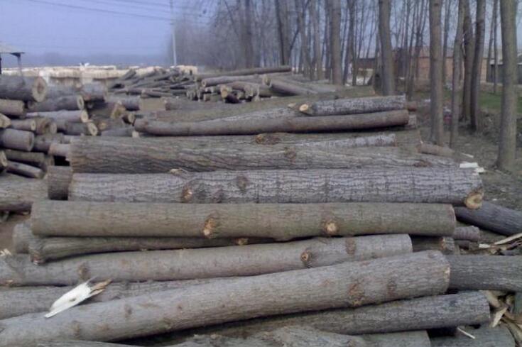 杨木我国北方常用的木材,其质细软,