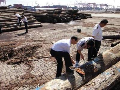 江苏常熟口岸国内首次截获松带木蠹象