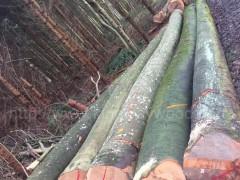 木业供应德国进口榉木原木AB级 水青冈家居材 月供60柜