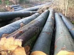 木业供应德国进口优质榉木原木AB级可锯切地板材门床柜子料