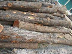 长期供应核桃木枣木香椿木原木