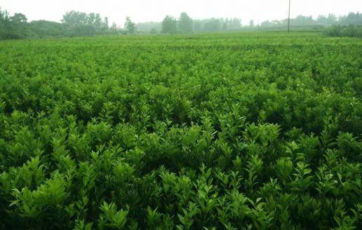 纽荷尔脐橙苗种植视频