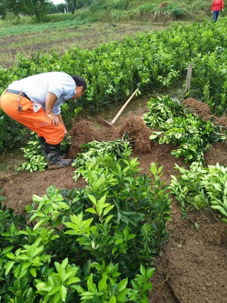 纽荷尔脐橙苗栽培