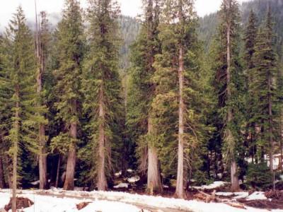 为什么说红雪松是最天然的防腐木,红雪松与其它树种耐腐性能对比