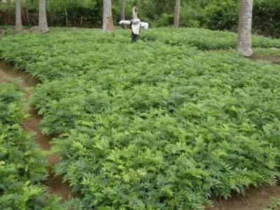 倡导员工珍惜红木材料 东阳这家红木企业栽种海南黄花梨