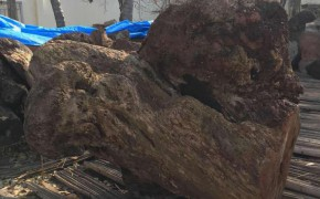 贾拉木树瘤