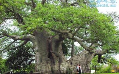 世界上最粗的树,百骑大栗树(直径17.5米)
