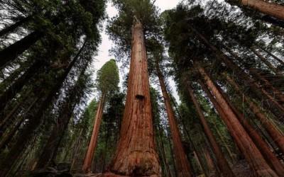 长得太高的总统树,至今没人拍到全貌