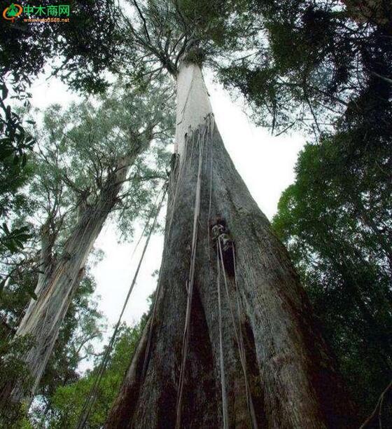 世界最粗的树图片_世界最高、最粗、最大、最稀有、最古老的那些树,中国上榜 ...