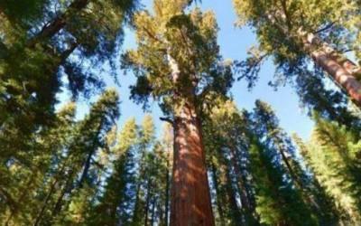 世界上最大的树,20人合抱才能抱得住!