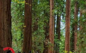 出售国内红杉原木