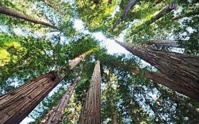 杉树打顶能使主杆加速长