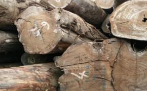 供应核桃木,香椿木,梧桐木原木