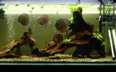 放在鱼缸里的沉木有什么用?鱼缸里放沉木对鱼有什么好处?鱼缸沉木如何挑选使用?