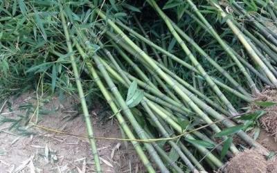 竹子移栽需要多长时间才能重新焕发生机?