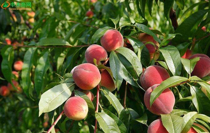 、果树。说到可以种植的果树那就太多了,苹果树、橘子树、脐橙树、梨树、桃子树、枇杷树