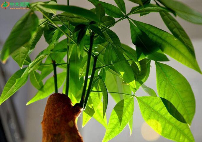发财树。发财树学名瓜栗,喜高温高湿气候,耐寒性差