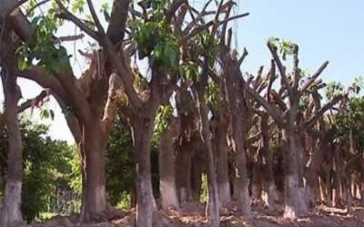 树木移植为什么要砍去树头与枝叶?