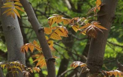家里三亩荒地,种上香椿树,十年后收木材做家具怎样?