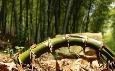 杉木和毛竹混交,科学合理吗?