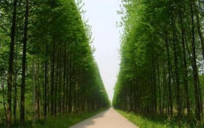 同时种一株水杉一株杉木,20年后是什么样,哪个更值钱?