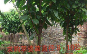 求购:苹婆苗直径 8 - 10公分,1000棵