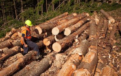 江西五斗江分场全面采伐生产木材
