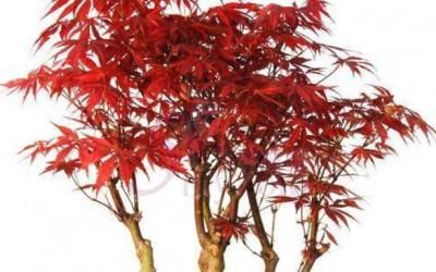 无患子科日本红枫盆景的